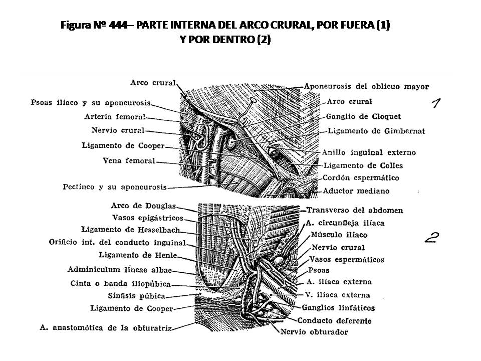 ATLAS DE ANATOMÍA HUMANA: 444. PARTE INTERNA DEL ARCO CRURAL, POR ...