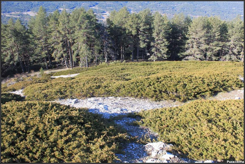 Sabinas rastreras y pinos albares en Los Malenes (Villar Del Cobo)
