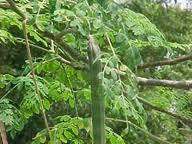pohon kelor