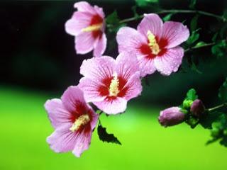 Hineni Servant Rose Of Sharon Blue Rose And Sakura Blossom