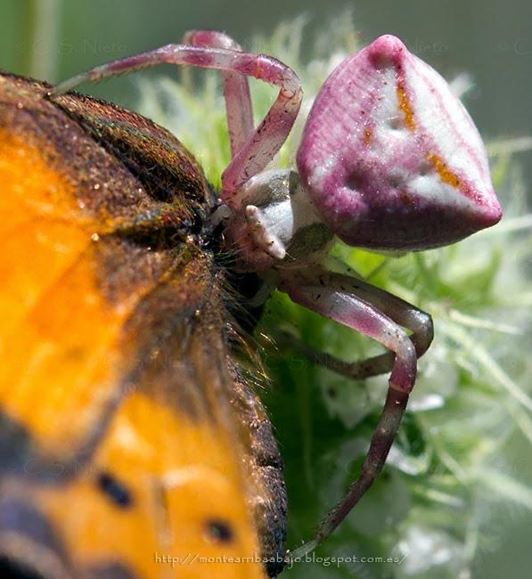 Thomisus onostus de color rosa, devorando una mariposa.
