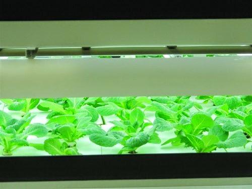 ปลูกผัก โดยใช้แสงเทียม หลอดไฟแอลอีดี (Artificial Lighting)