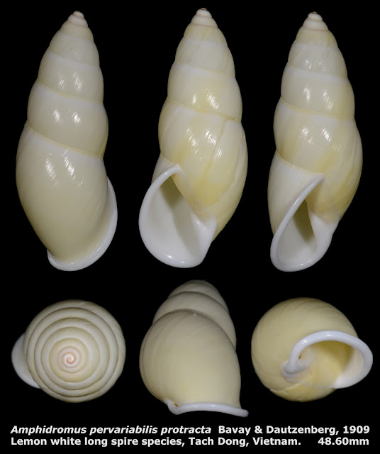 Amphidromus pervariabilis protracta 48.60mm