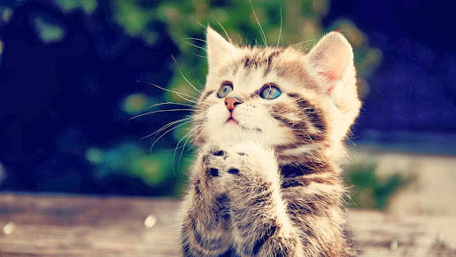 Praying cat cute kitten hd wallpaper animal image