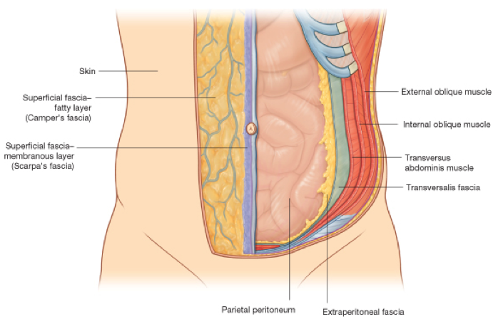 Anatomy of the belly