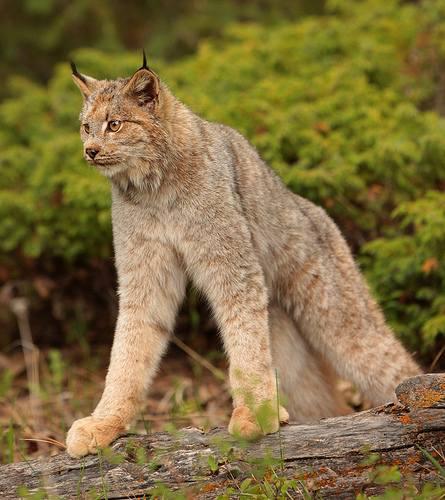 North American Cat Species