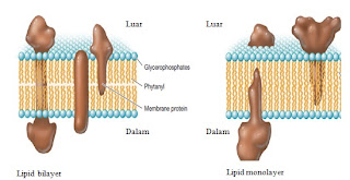 lipid bilayer dan monolayer