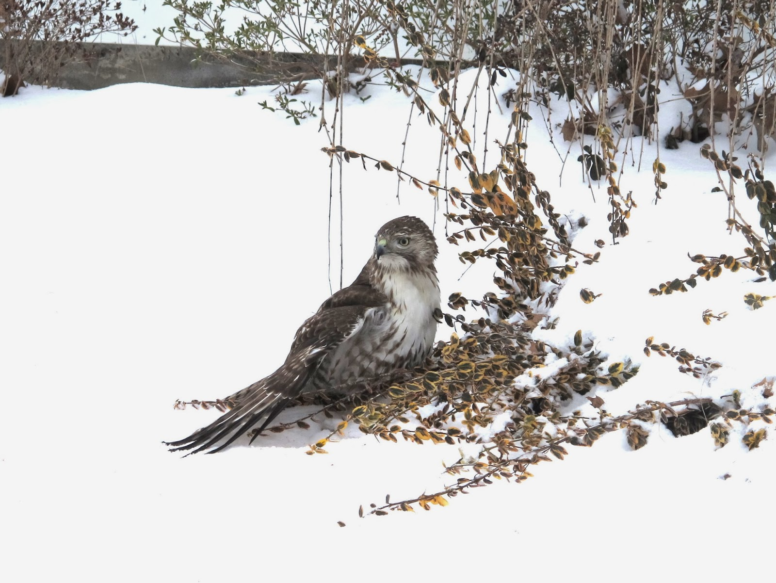 Hawk in Orrville