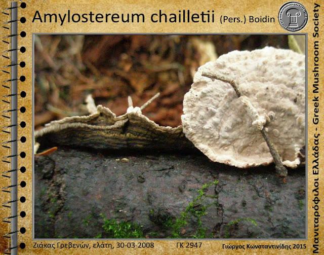 Amylostereum chailletii (Pers.) Bοidin
