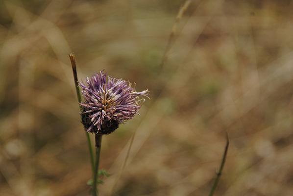Fleur du vercors prise sur Montaud, Grenoble photo