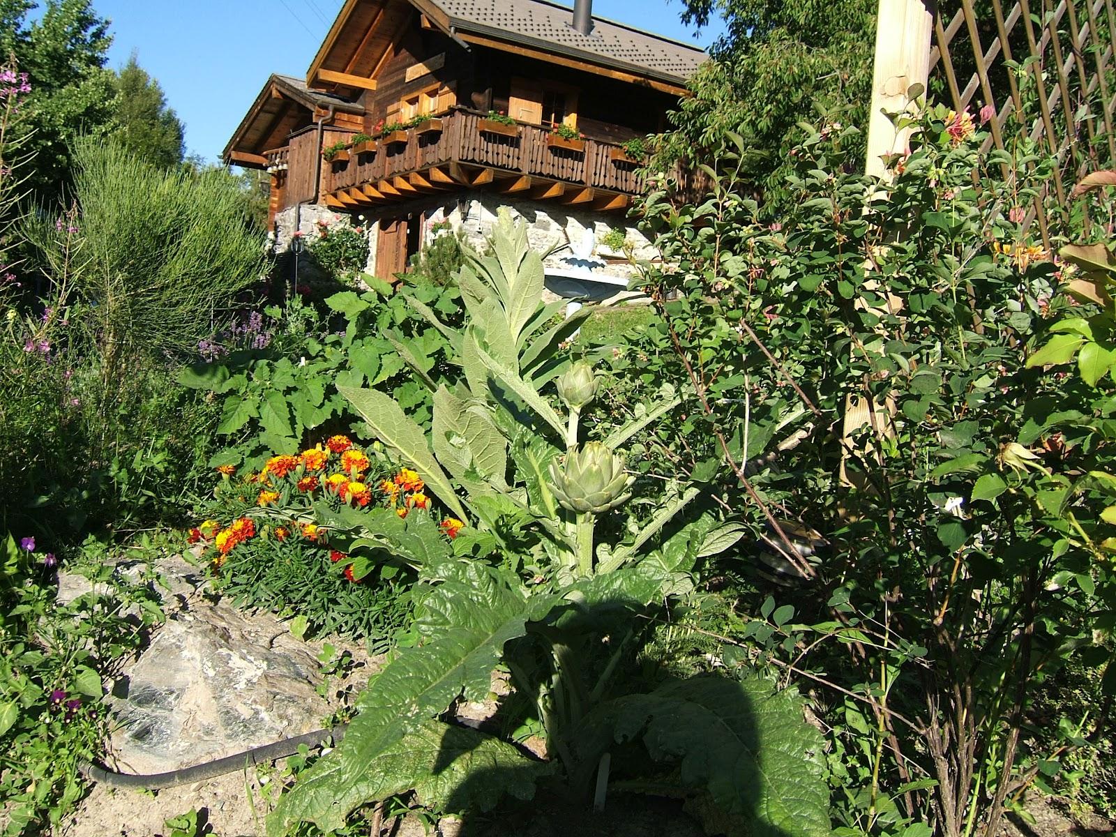 Coltivare carciofi in montagna il giardino di montagna - Giardini di montagna ...