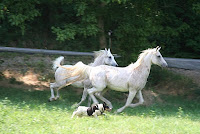 Two Arabian horse mares frolicking with a dog joined in the fun