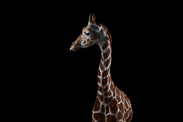 fotografia de animais selvagens- Brad Wilson - girafa