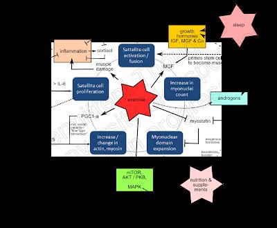 Mécanismes hormonaux et facteurs de croissance liés à l'hypertrophie