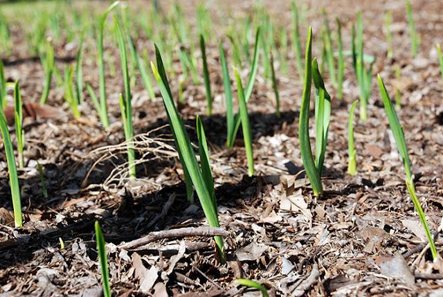 growing garlic farm