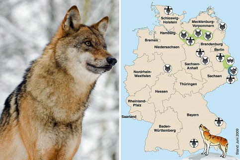 the reintroduction of wolves in the wild In our view, in order for any reintroduction of the wolf to scotland to be successful, it is first necessary to secure a safe and viable future for wolves in areas of europe where they have managed to survive human persecution, and in areas where they have returned, aided by legal protection and european community policies and conventions.