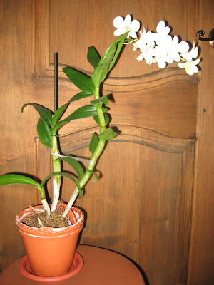 цветение дендробиума фаленопсиса