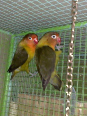 pecinta lovebird jenis lovebird