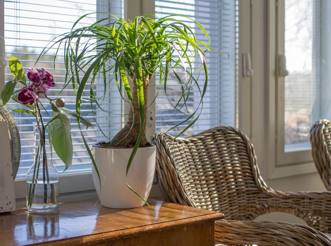 viherkasvi sisustus leikko orkidea