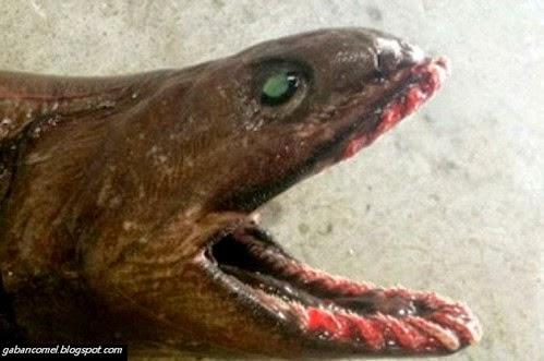 Menakutkan Ikan Jerung Prasejarah Punyai 300 Batang Gigi