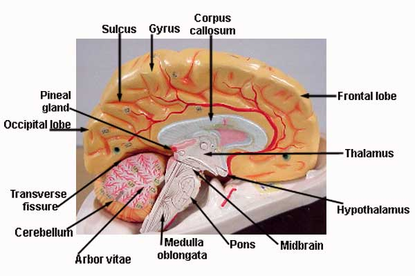 Brain Anatomy Model1