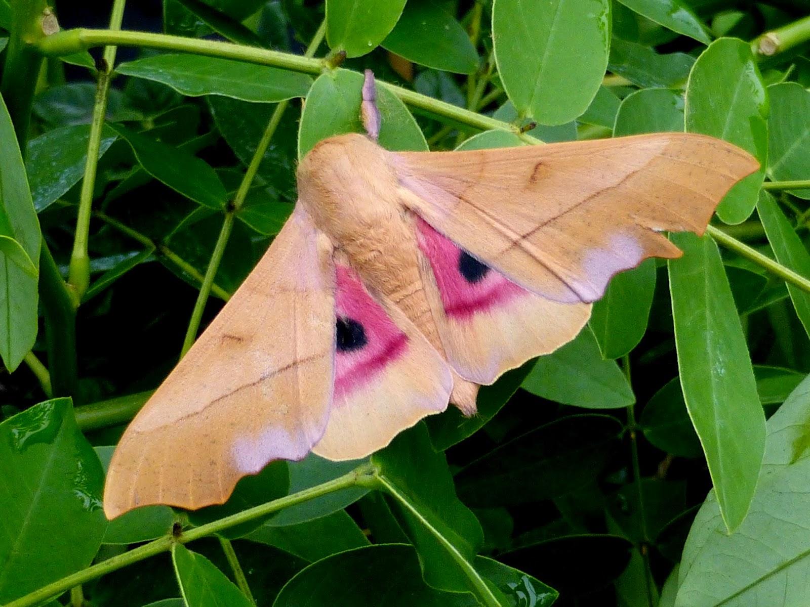Syssphinx molina male