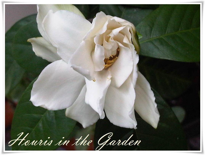 Houris In The Garden September 2012