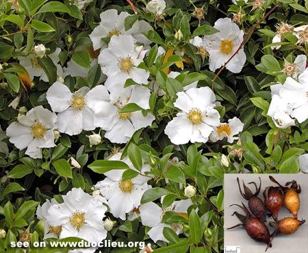 Cherokee rose hips (Jinyingzi)