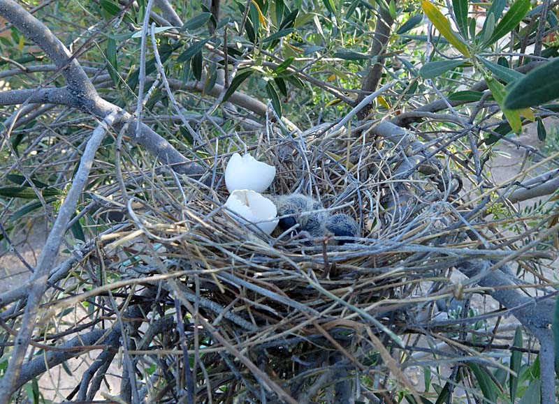 Mourning Dove Nest Birdernaturalist: Baby...