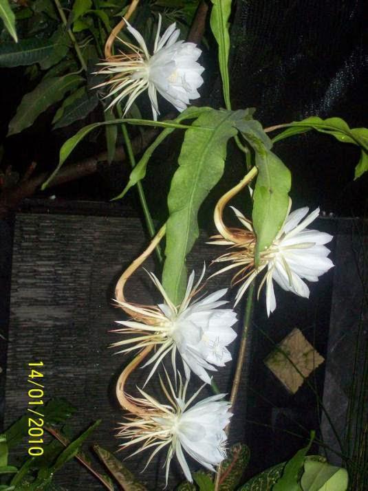 tanaman wijayakusuma