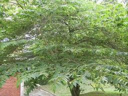 Pohon kersen favorit anak-anak