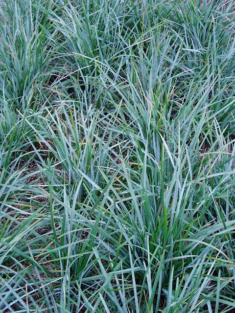 Lovegrass farm seslaria heufleriana blue green moor for Green ornamental grass