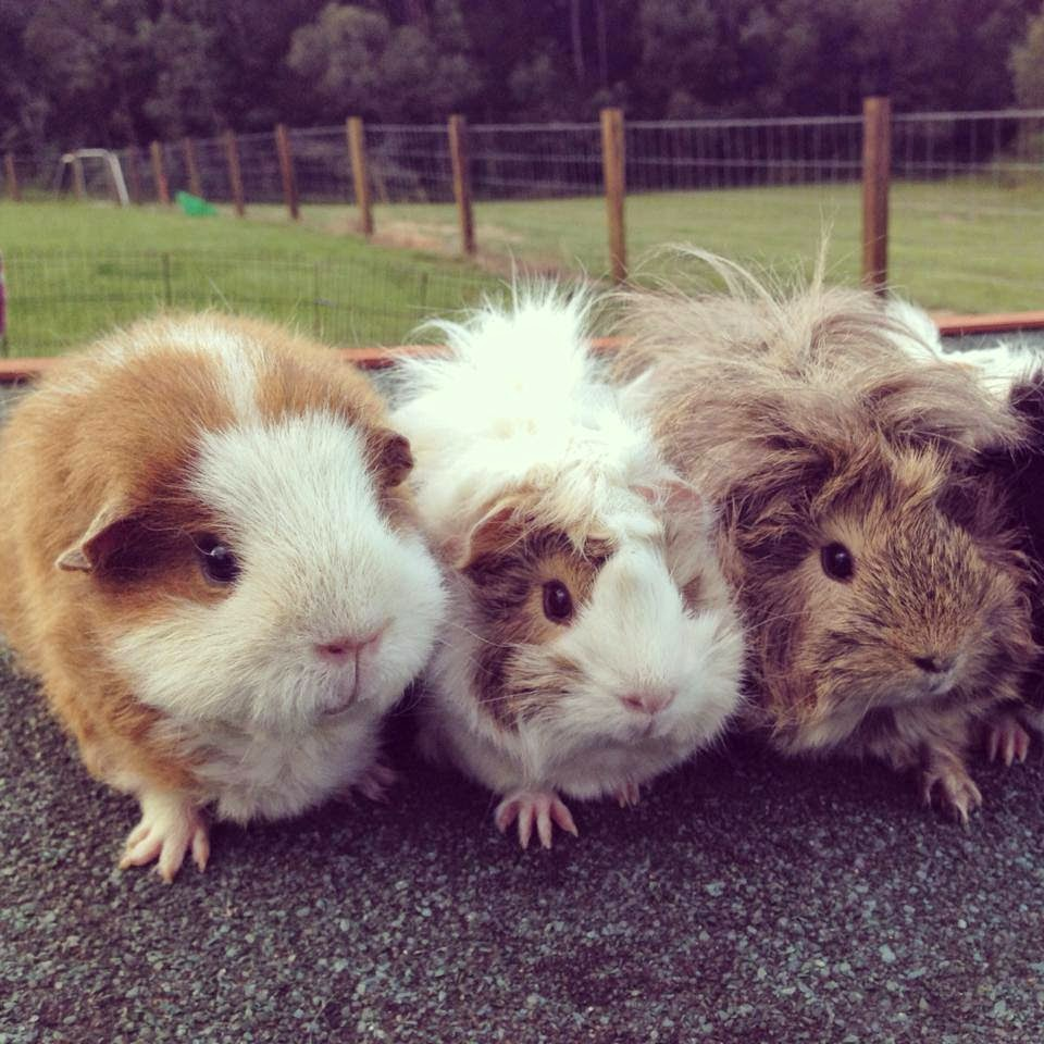 All things guinea pig march 2015 and below we attempted to do a girls line up but the instagram frame cutoff all but kobe lucy and buttons lol jeuxipadfo Gallery