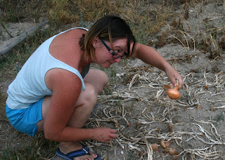 First Onion is harvested