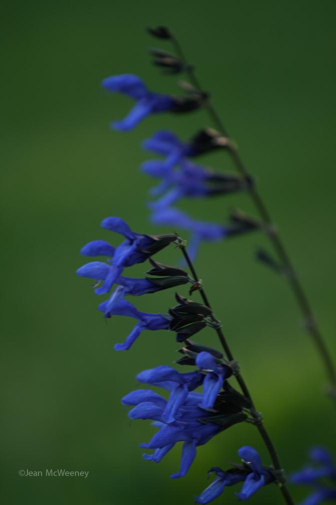 how to grow black blue salvia