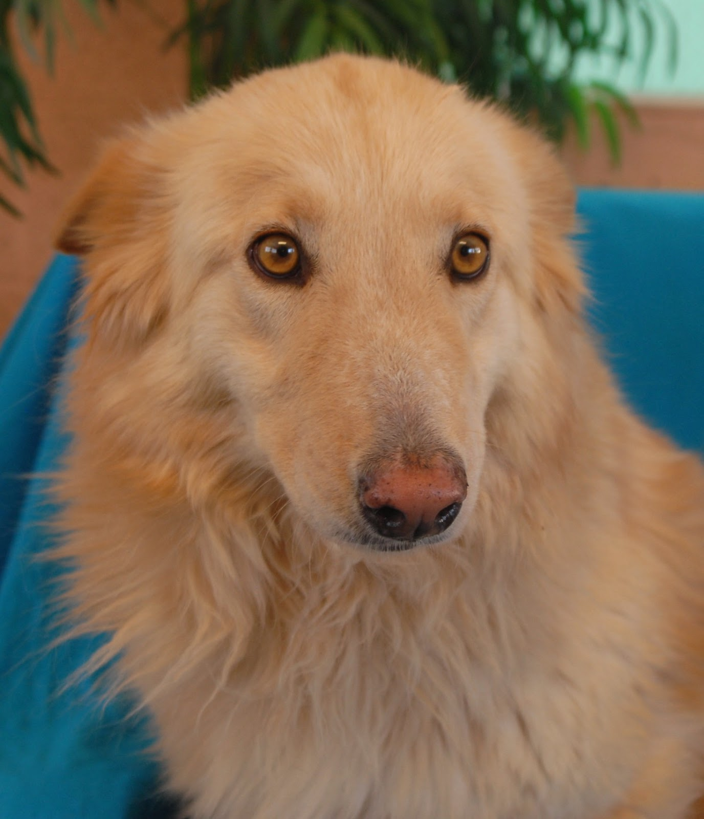 Gold Star, a Collie & Golden Retriever mix debuting for adoption.