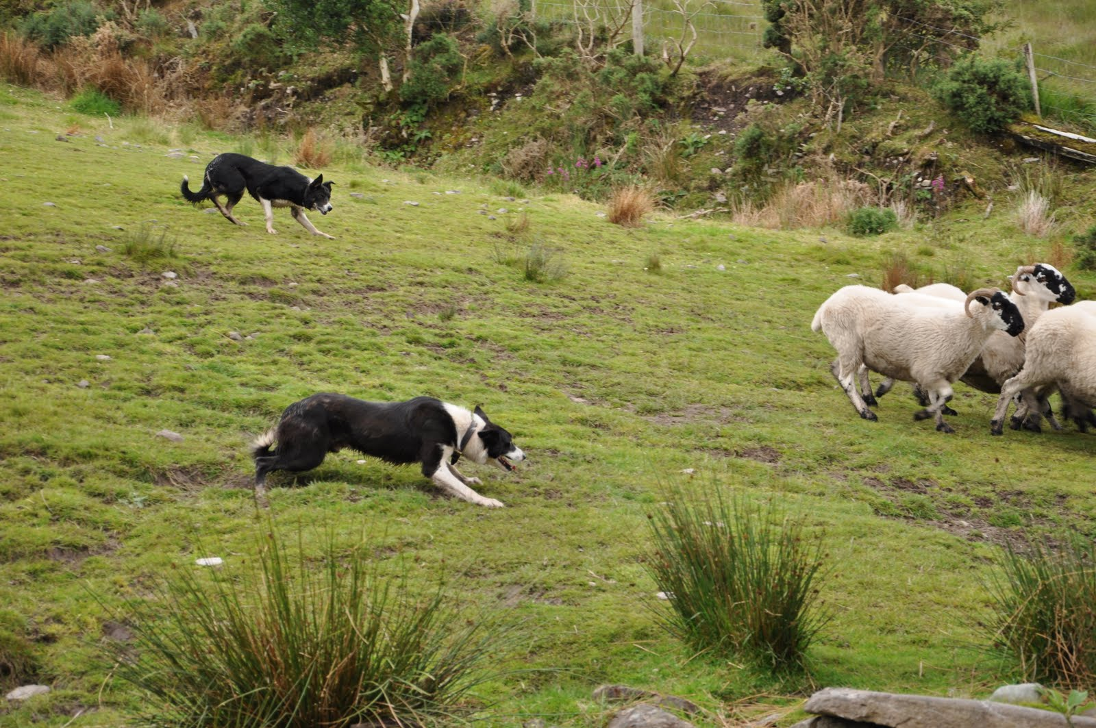 next  the shepherd had one of the dogs move the sheep from side to side