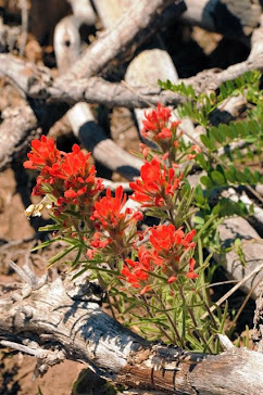 Colorado Castilleja 113