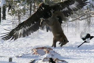 Águia a apanhar raposa