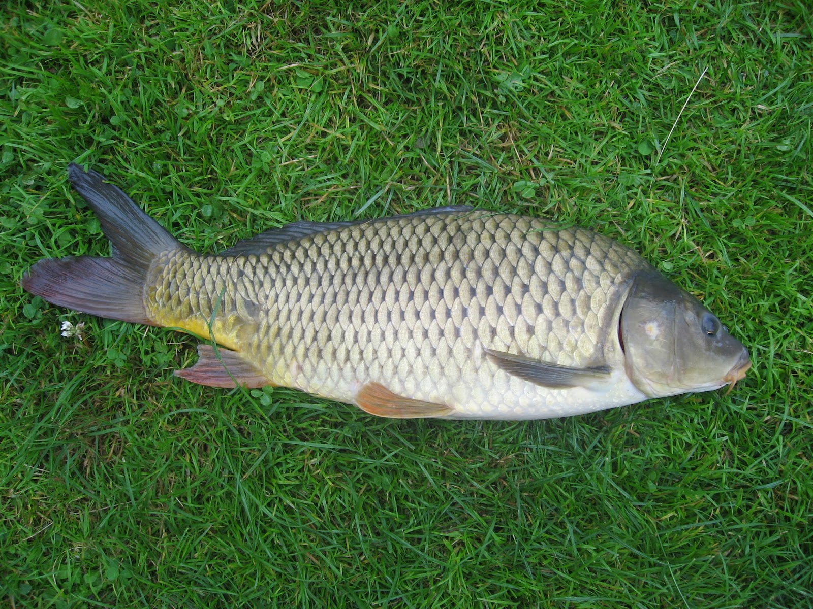 Fish common carp fish cyprinus carpio veterinary online for Carp fish pond