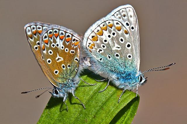 Tierfotos - Insekten - Schmetterlinge - Bläulinge - Hauhechel-Bläuling bei der Paarung