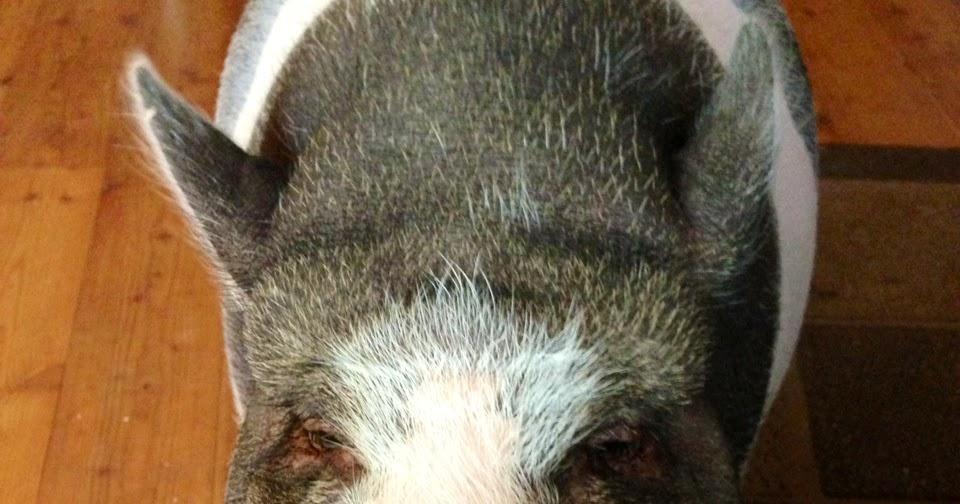 vegan kochen vegan backen vegan leben was braucht man um ein schwein bei sich aufzunehmen. Black Bedroom Furniture Sets. Home Design Ideas