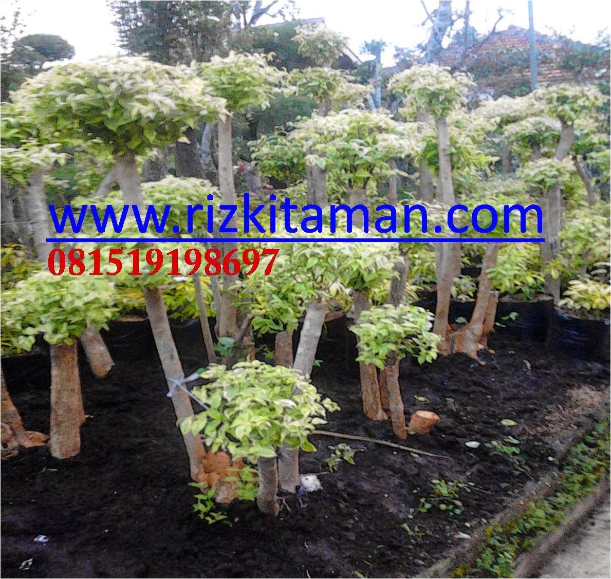 Jual bonsai anting putri | suplier tanaman bonsai dan bunga | tukang taman