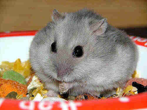 Hamster | Animals Backgrounds