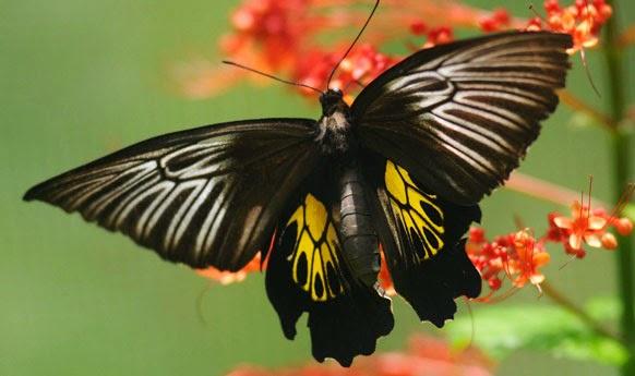 koleksi kupu-kupu bantimurung