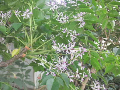 Flowers of Pride-of-India (Chinaberry) tree, called Inia in Hawaii