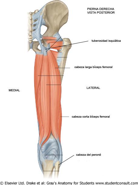 FisioApp: Lesión Andrés Iniesta en el bíceps femoral
