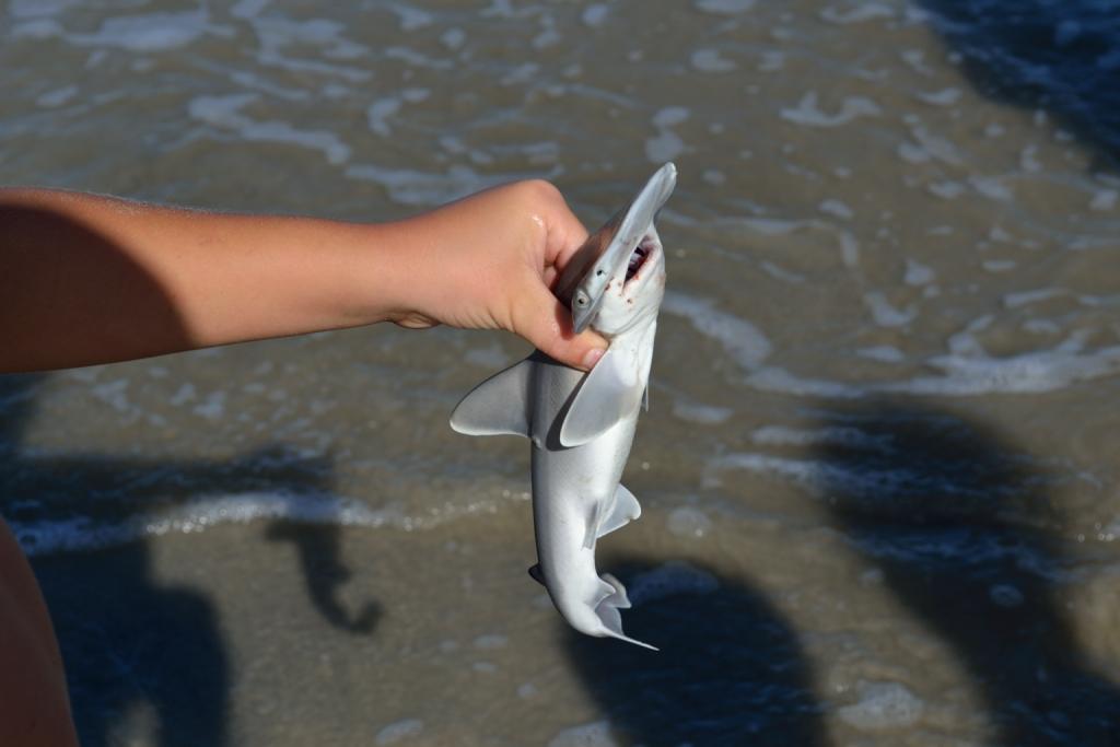 Hammerhead shark baby - photo#21