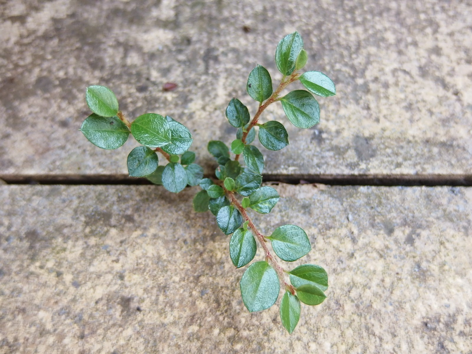 Picture of a Cotoneaster seedling growing in the tiny crack between 2 paving stones