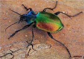 Een scarabee!